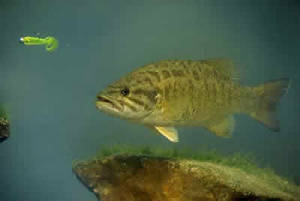 big_pic_smallmouth_bass.jpg