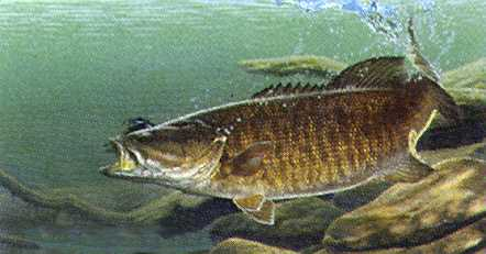smallmouthbass.jpg